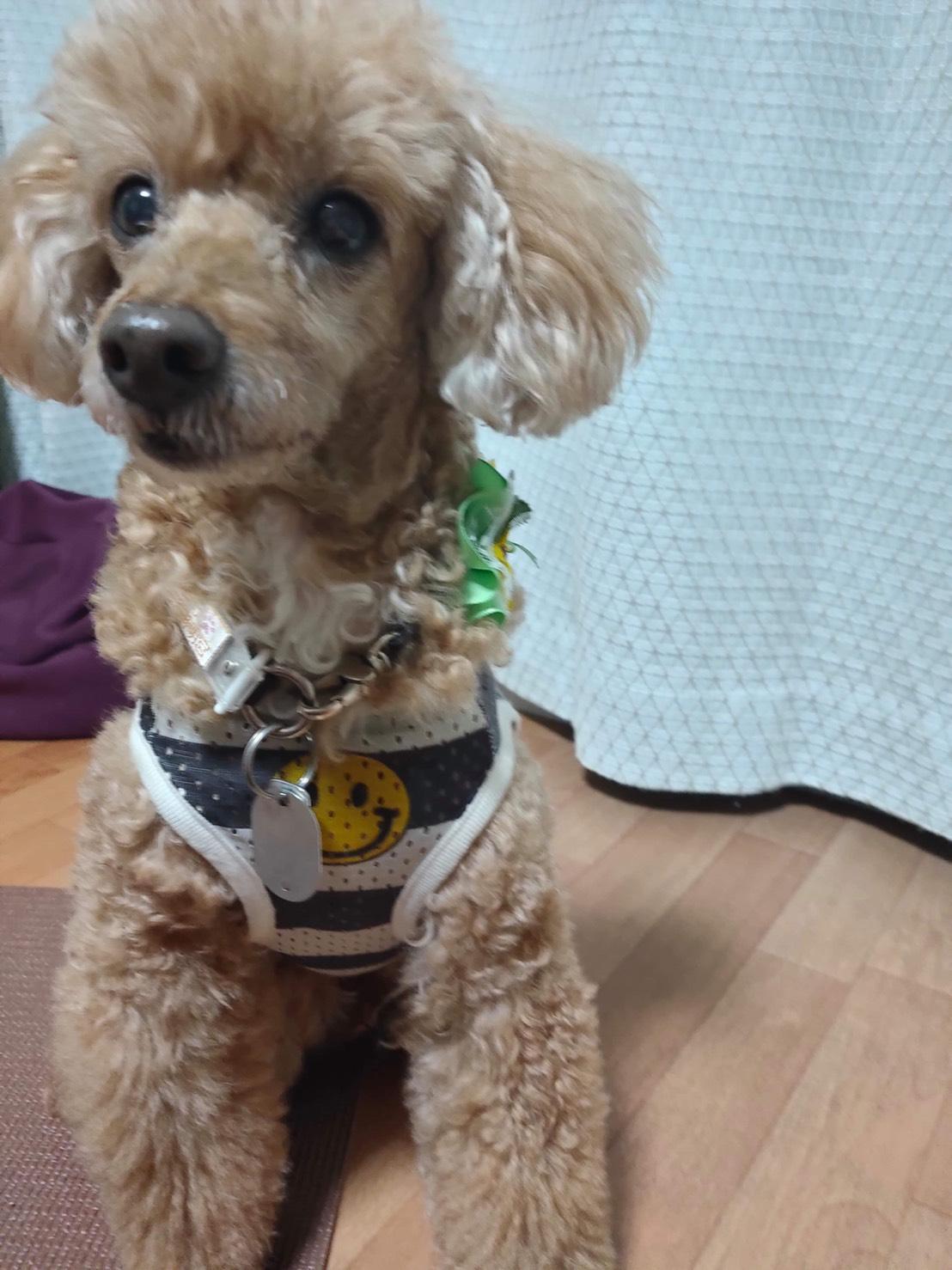 東京都 ハチ君ママ 柴犬・4歳